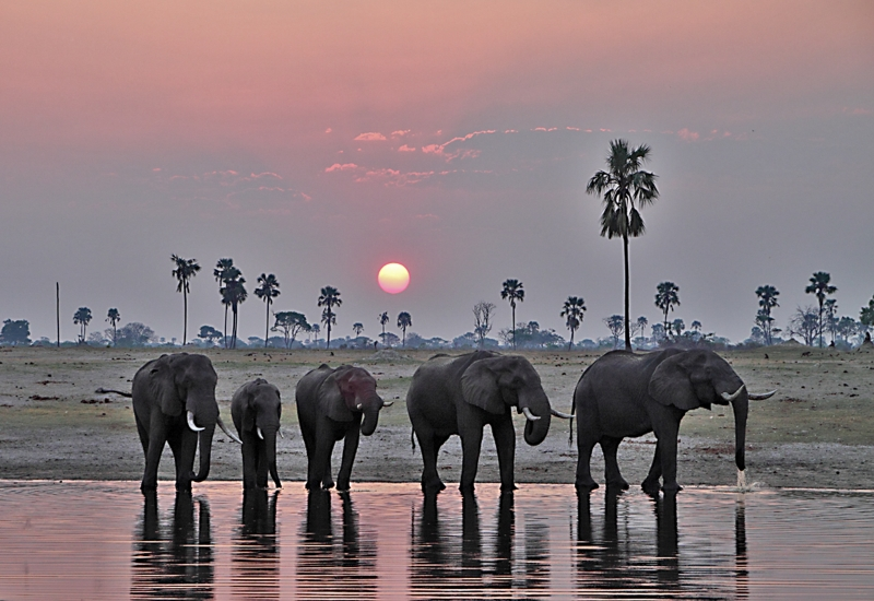 Elephants Watering At Sunset – Chobe Np