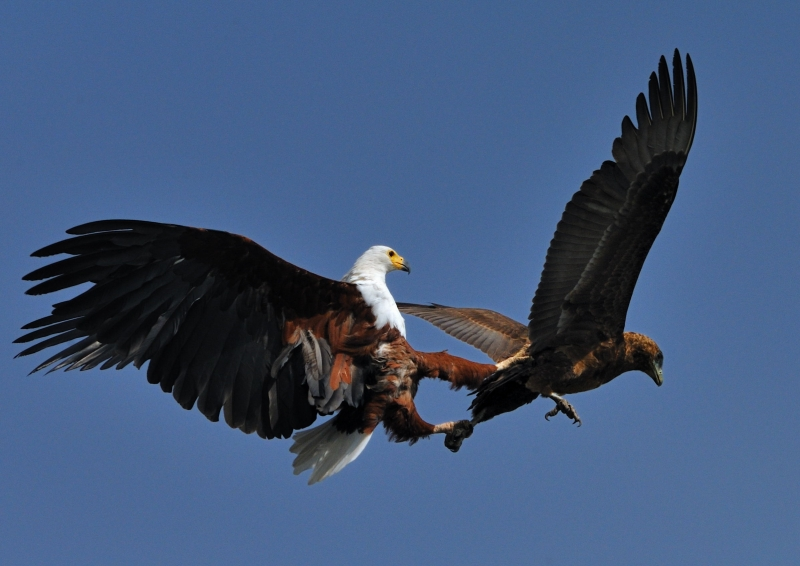 African Fish Eagle And Immature Bateleur