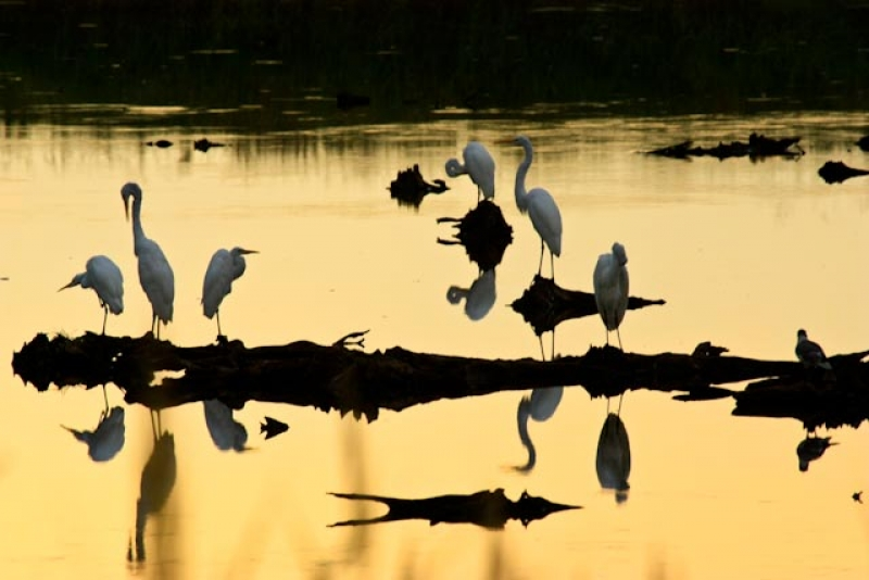 Egrets At Sunset Bombay Hook