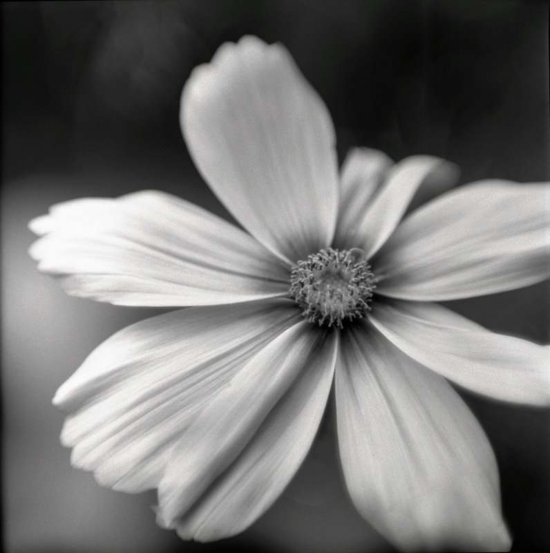Black And White Garden Flower