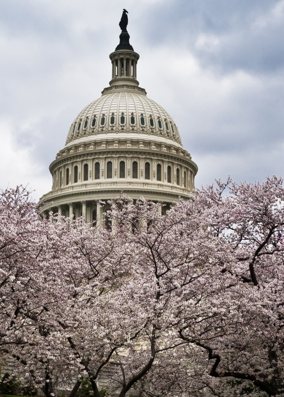 Capitol Cherry Blossoms