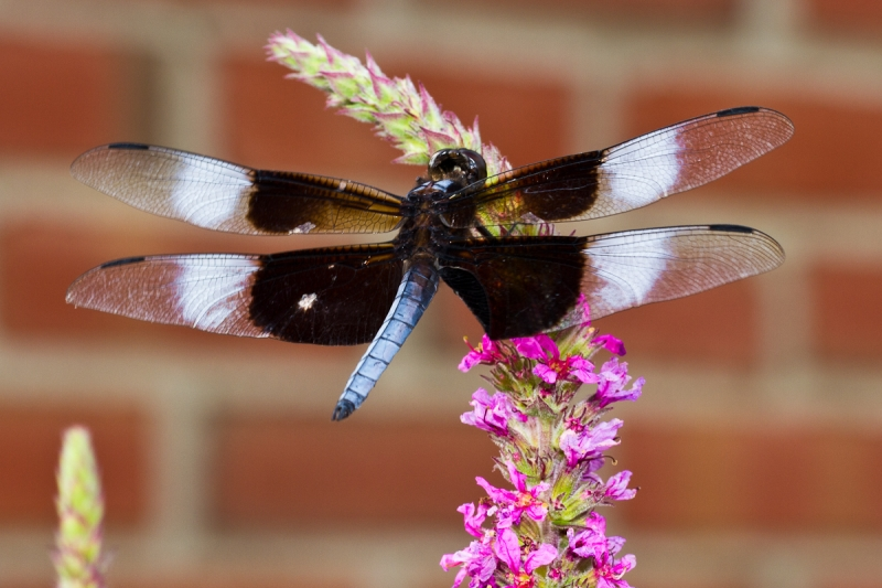 Sweet Nectar Dragonfly