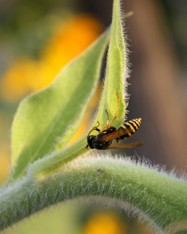Bee On Sunflower Stalk
