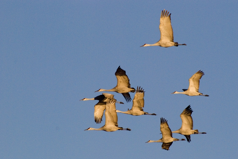Eight Sandhill Cranes, Bosque Del Apache