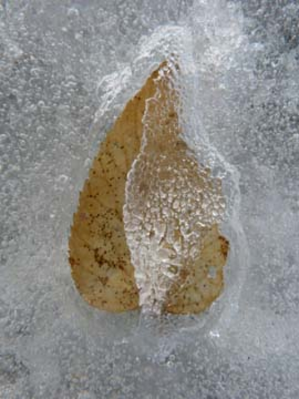 Frozen Birch Leaf