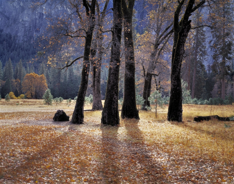 Black Oaks, Yosemite Valley