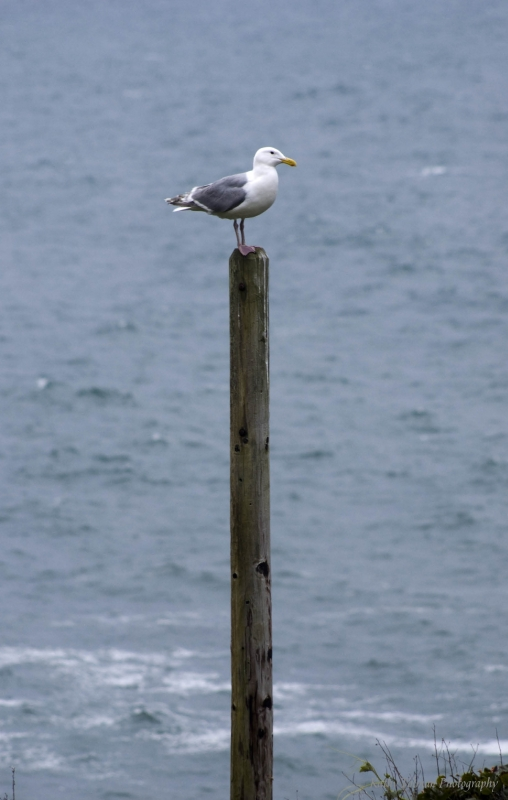 The Lone Seagull