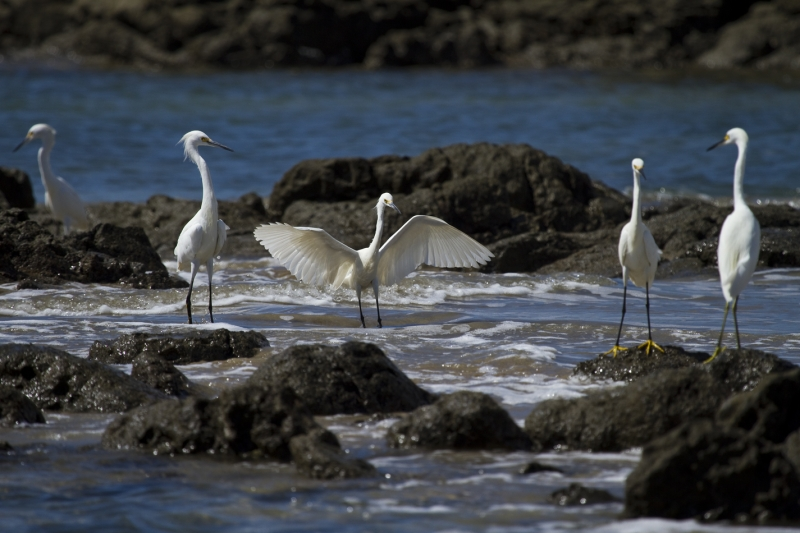Group Of Snowy Egrets