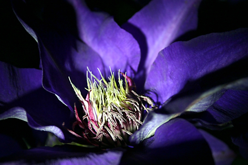 Blue Clematis At Night