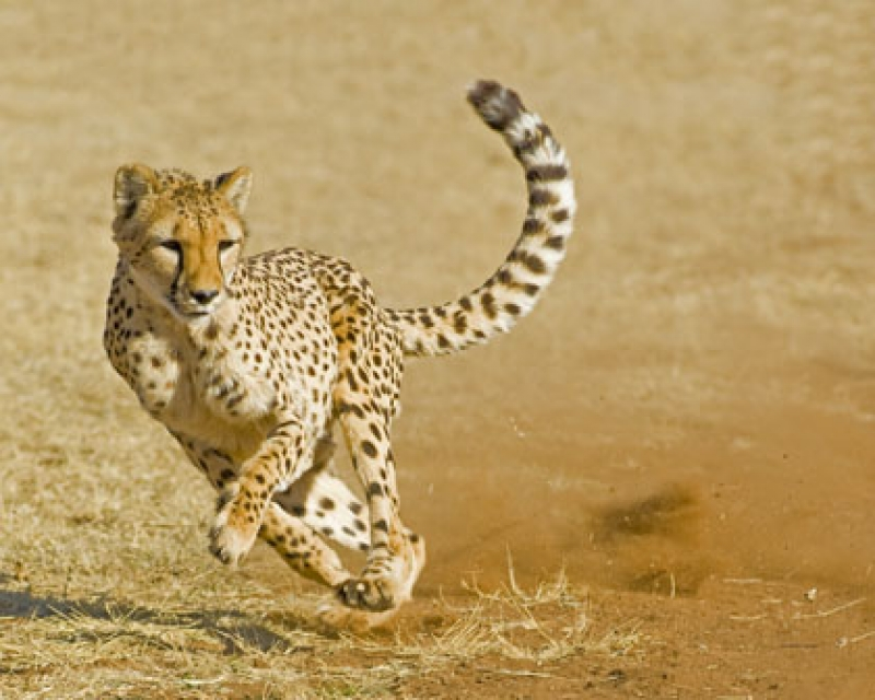 Cheetah On The Run