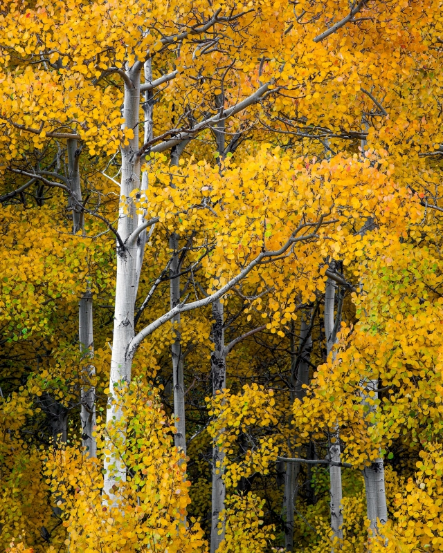 Aspens On Bishop Creek