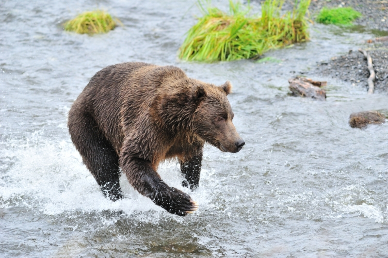 Kodiak Brown Bear Chasing A Salmon