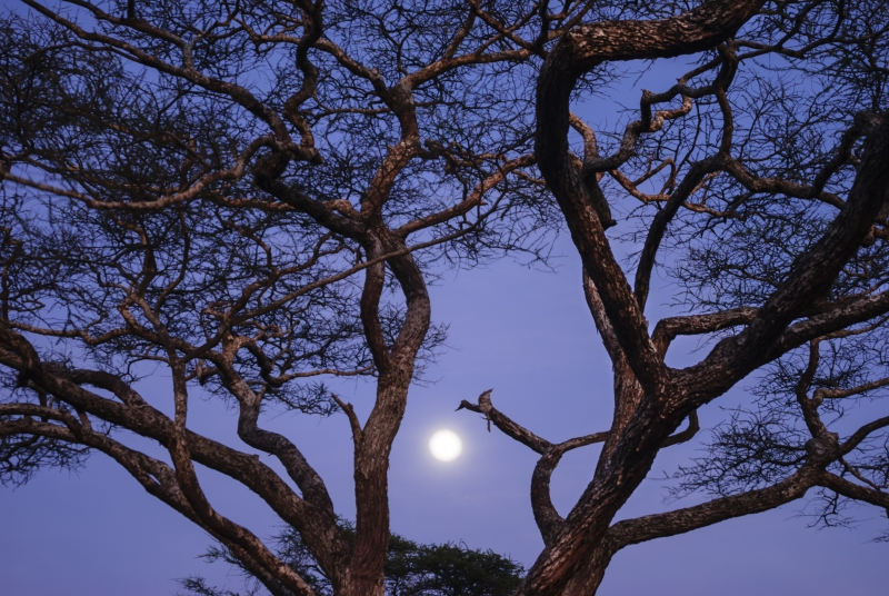 Moonset With Acacia Tree At Dawn