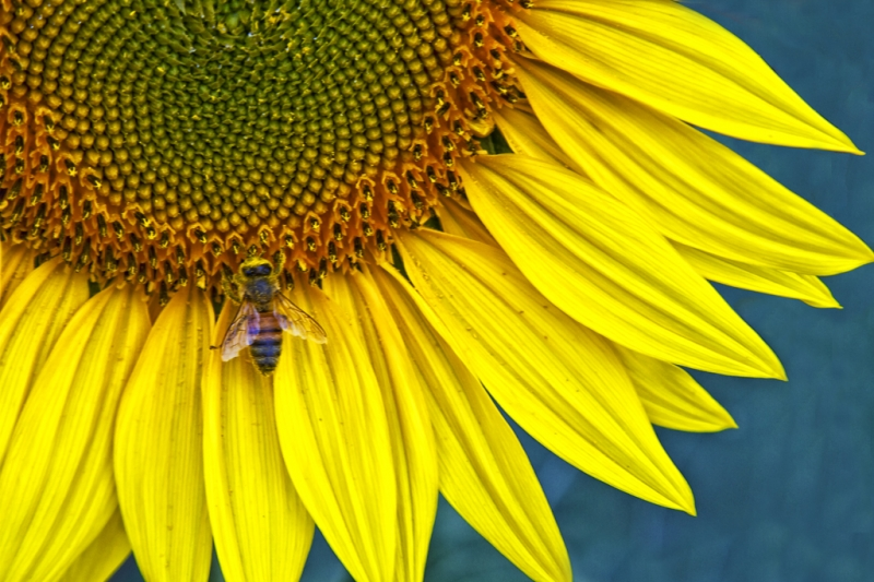 The Bee And Sunflower
