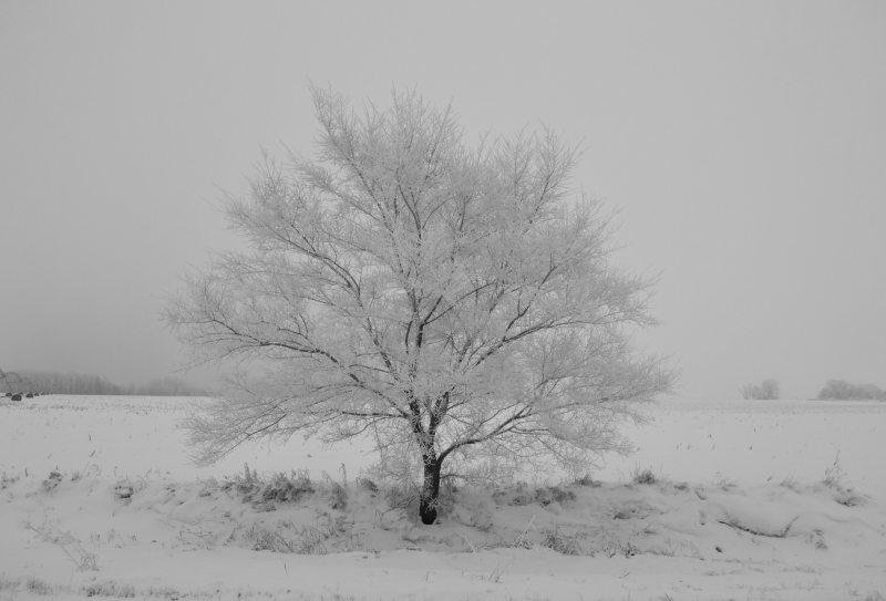 Heavily Frosted Tree
