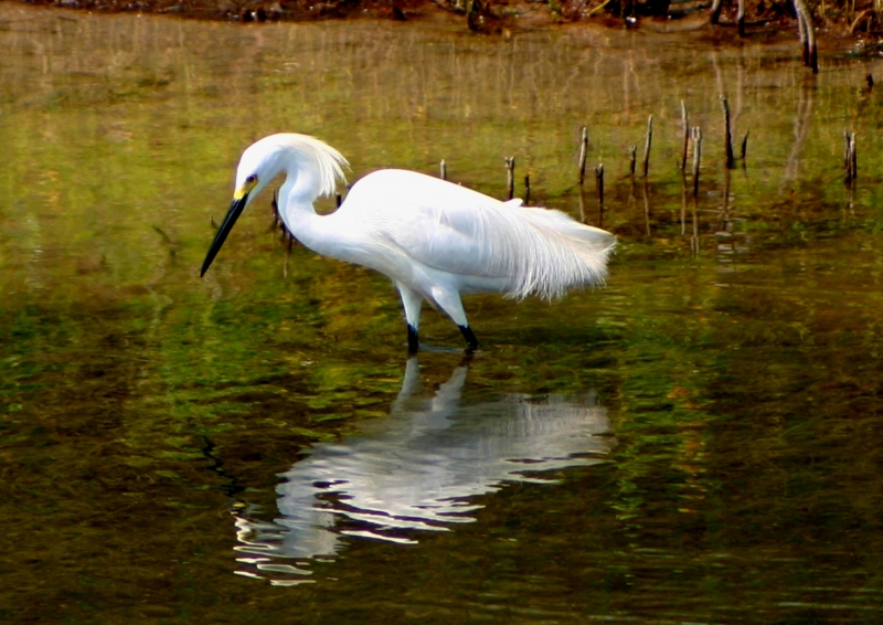 Egret In Reflection