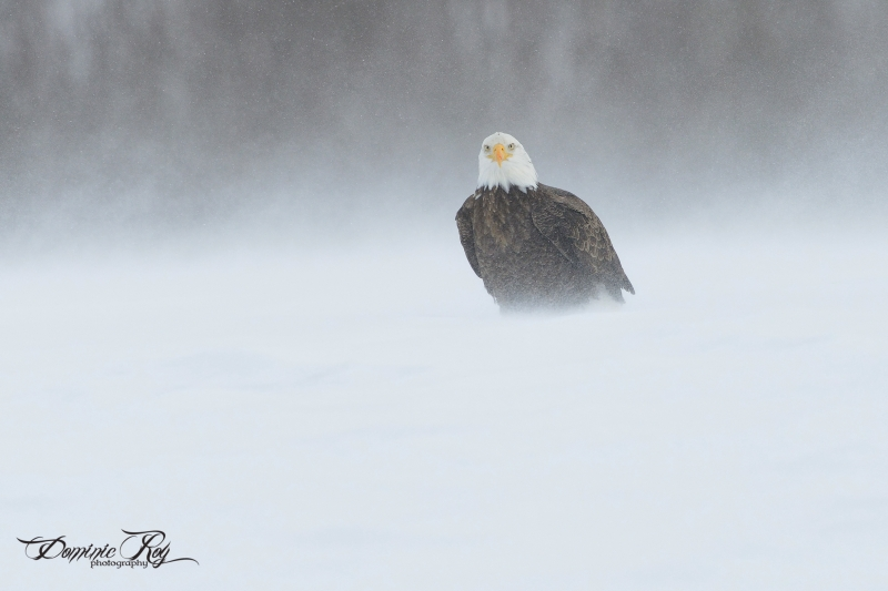 Bald Eagle Into Snow Storm
