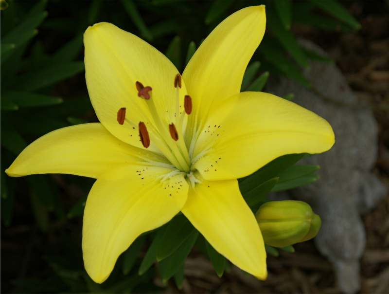 Spring Day Lily