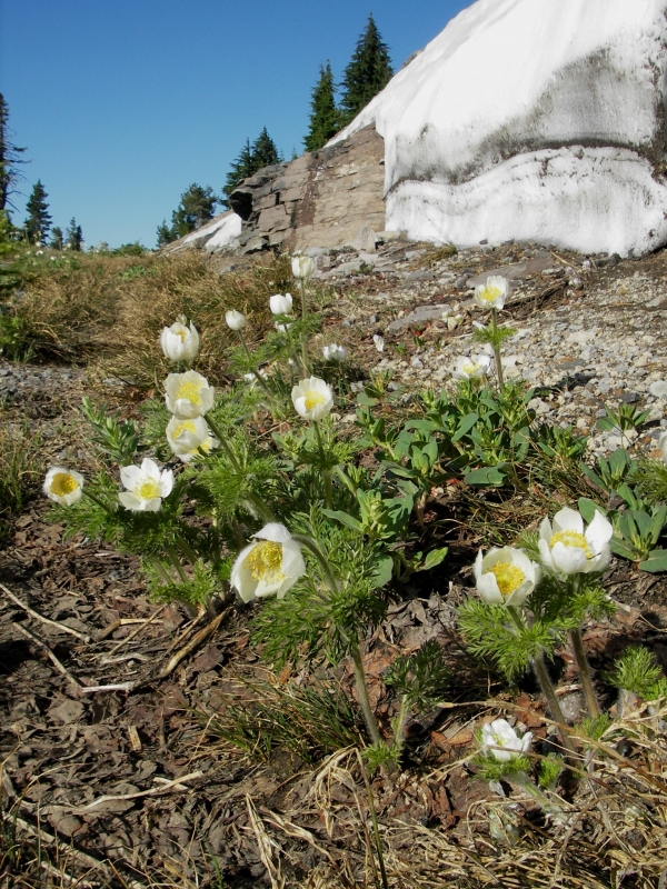 Mountain Pasque Flower