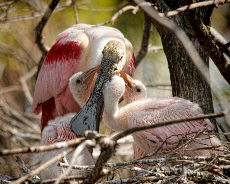 Spoonbill Chicks