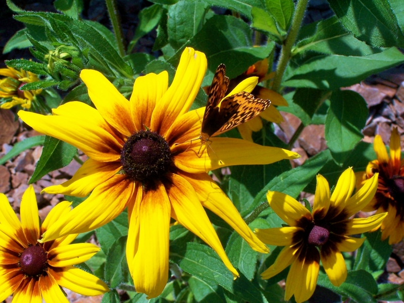 Blackeyed Susan And Monarch Butterfly
