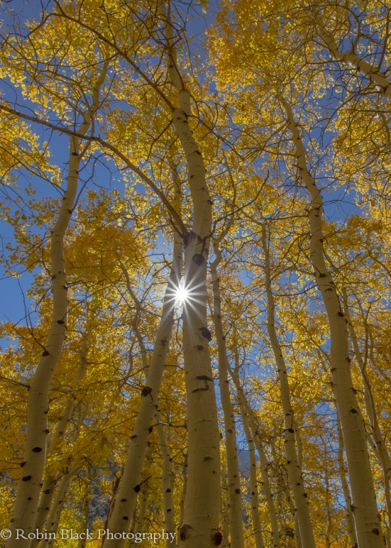 Backlit Aspens With Sun Star (lundy Canyon, Eastern Sierra)