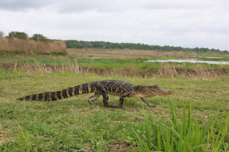 Small Gator On The Move