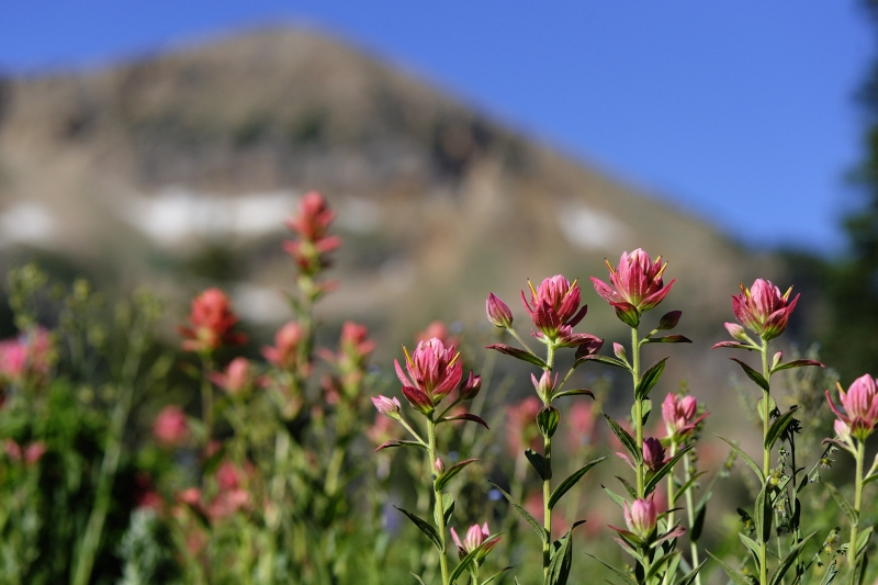 Mountain Indian Paintbrush