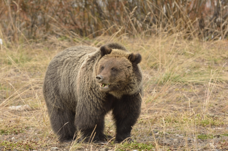 Sub Adult Grizzly