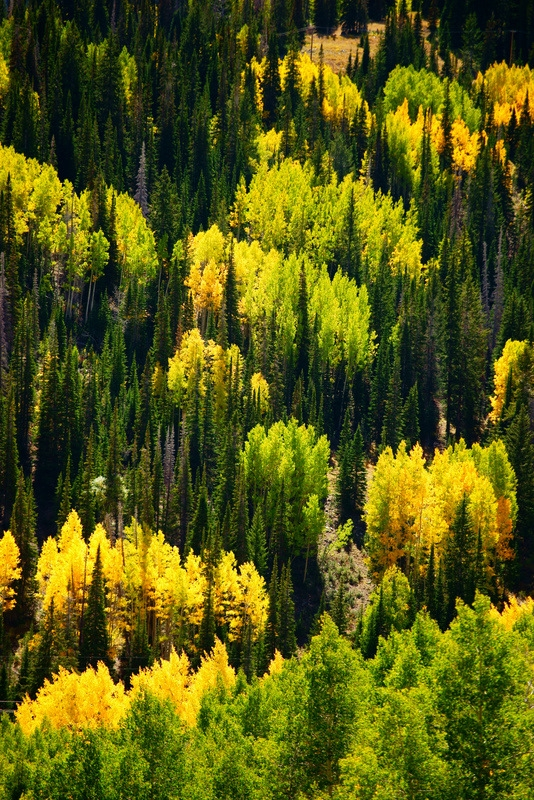 Aspens And Spruce