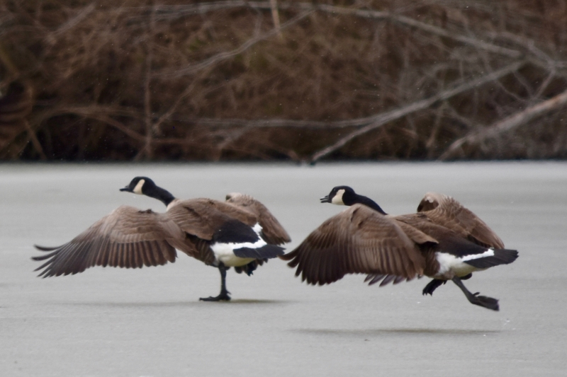 Geese Ready For Takeoff