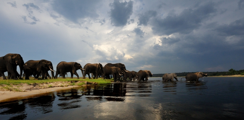 African Elephants Crossing Chobe River.