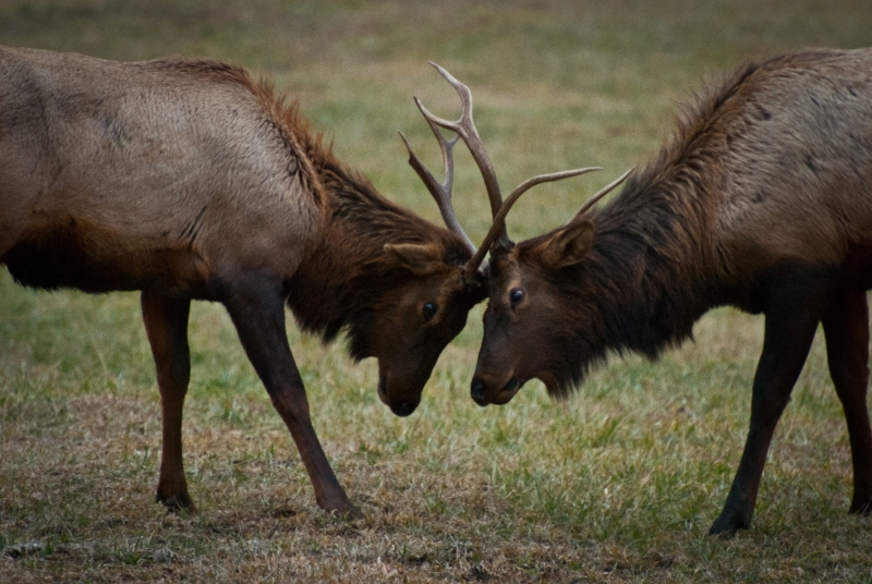 Bull Elk Battle