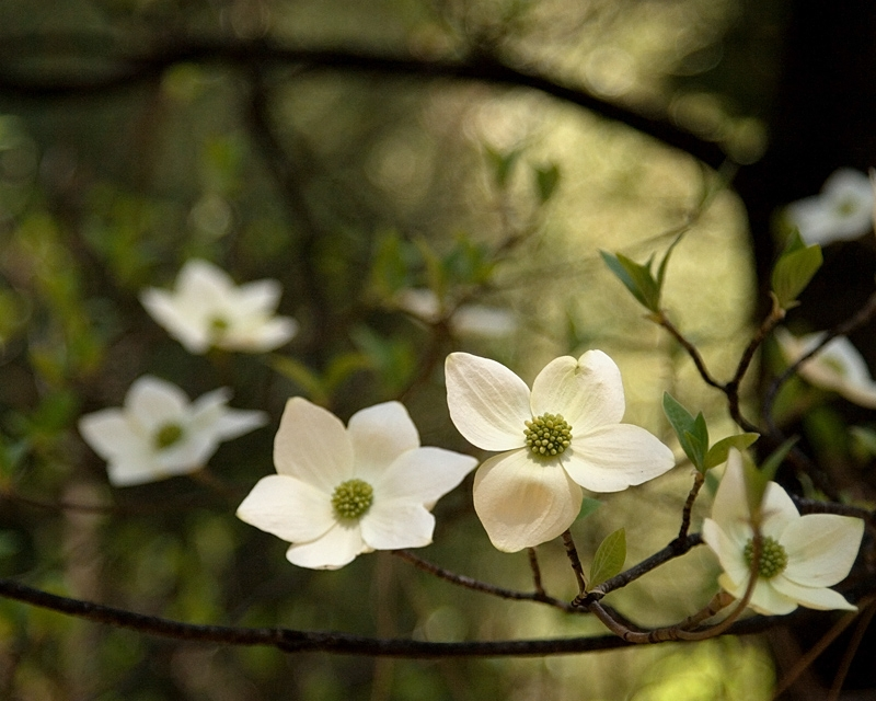 Yosemite Valley Dogwoods