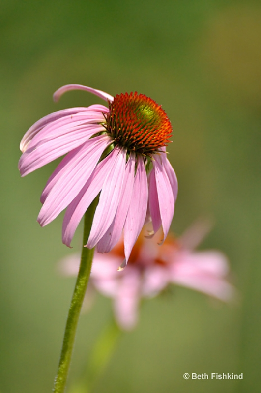 Cone Flower At Norman J. Levy Park And Preserve