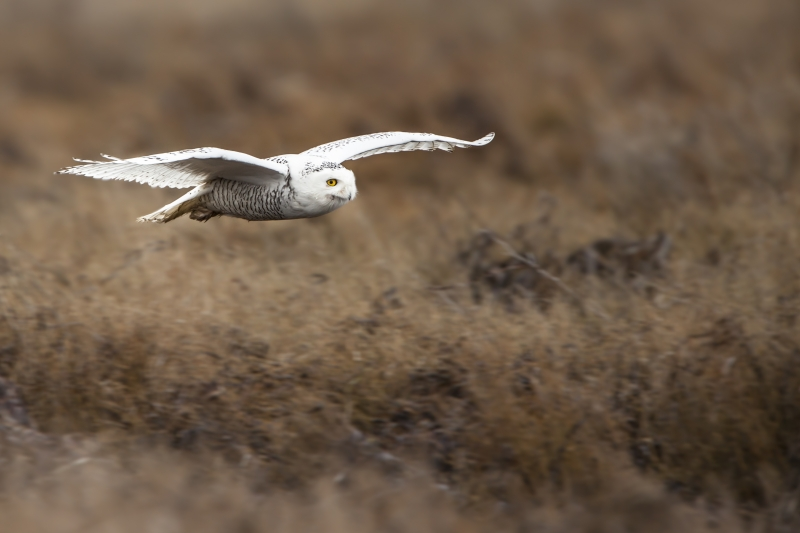 Snowy Owl In-fight