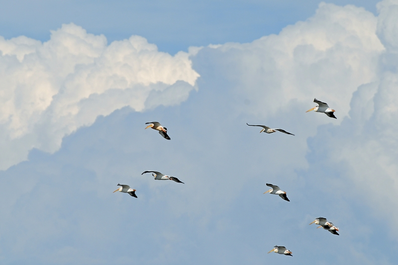 White Pelicans In The Clouds