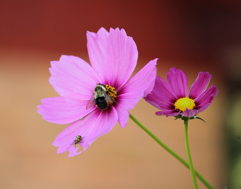 Bumble Bee And Beetle On Pink Cosmos