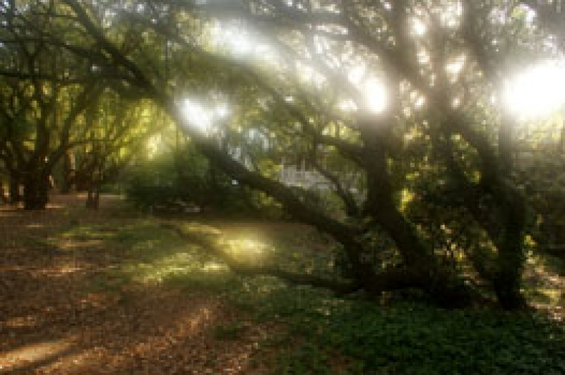 First Light Of The Morning Through Live Oak Trees