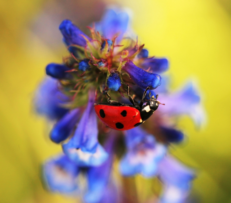 Lady Bug On Wildflower