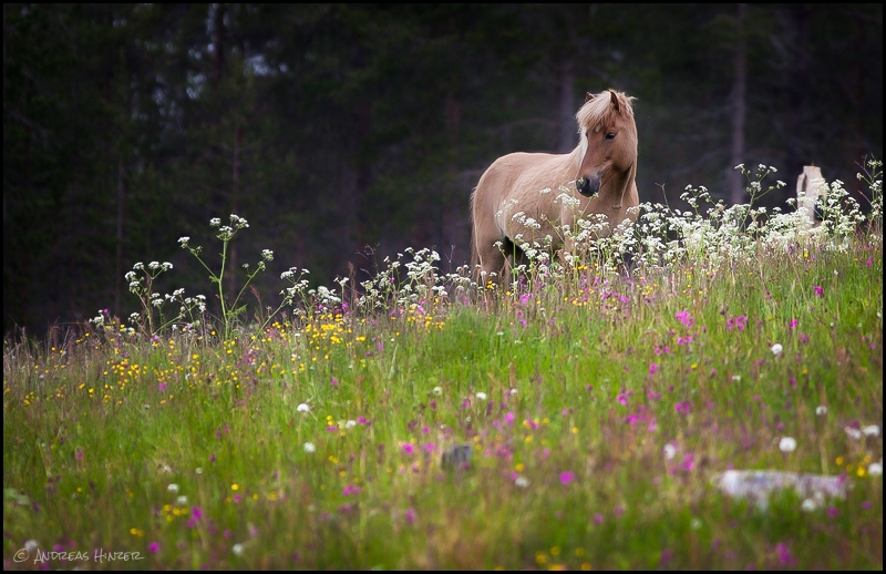 Horse In Wildflowers