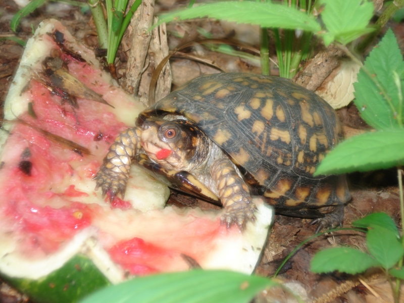 Box Turtle And Watermelon