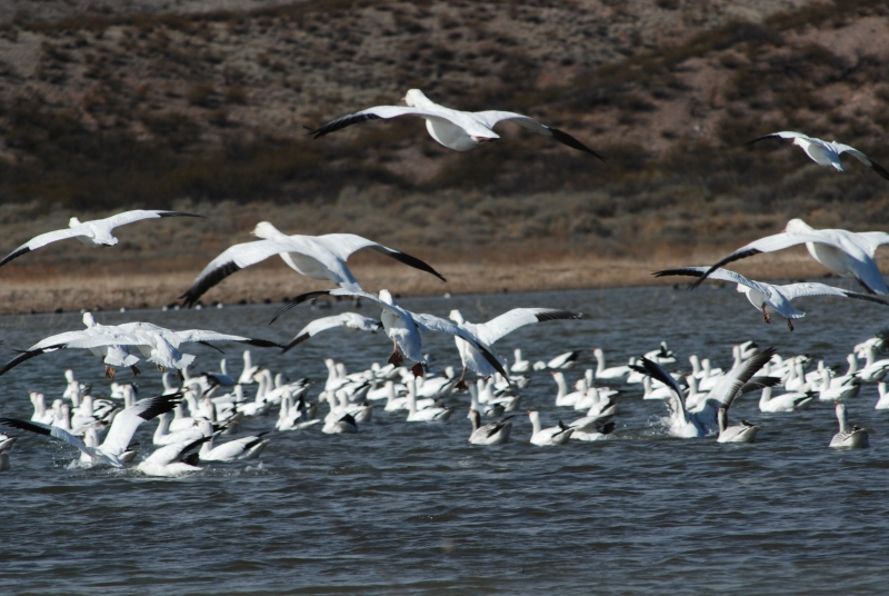 Snow Geese Time Out