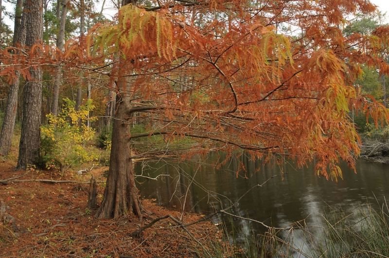 Fall Color Cypress