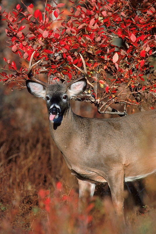 Whitetail Buck In Red Blueberry Bush