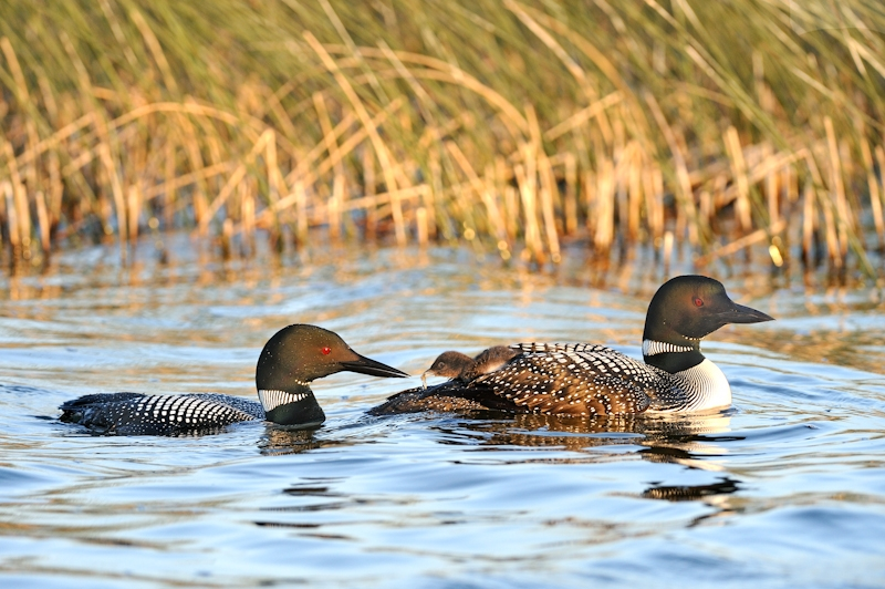 Loons Feeding Chick