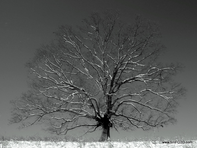 Snowy Oak On The Hill