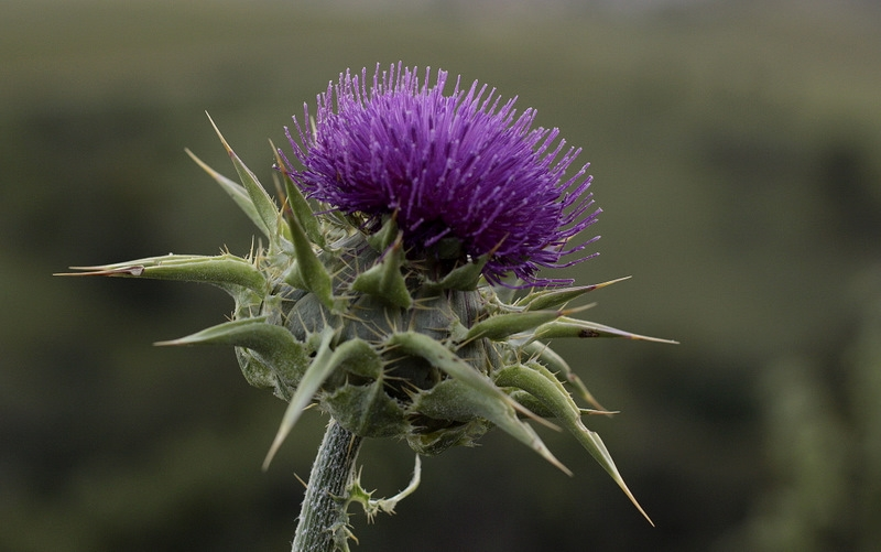 Thistle Morning