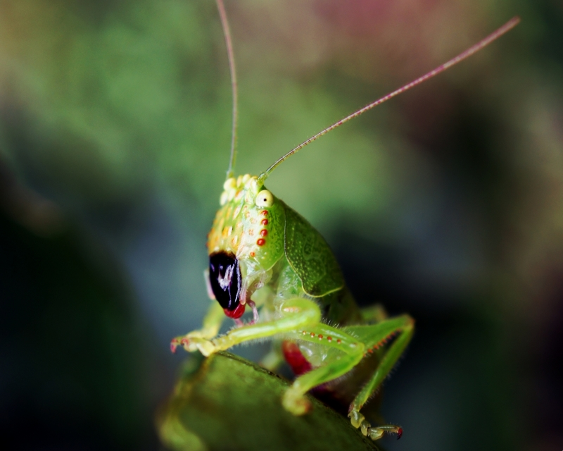 Portrait Of A Katydid