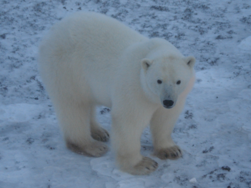 Polar Bear At Dawn On Hudson Bay